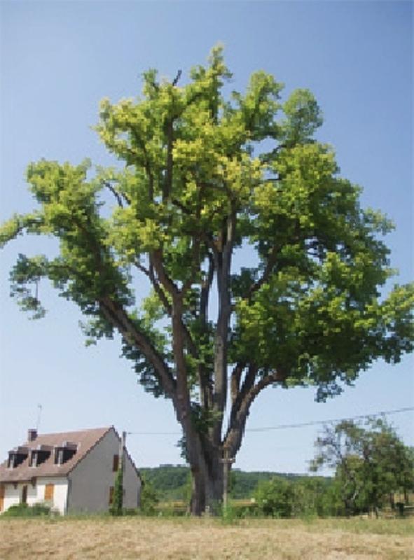 Dornecy (Nièvre) Le tilleul de Sully