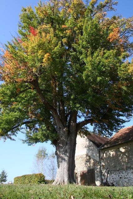 Rozoy-Bellevalle (Aisne) le vieux poirier commun